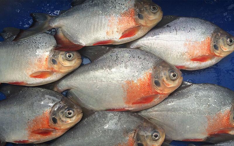 Cachama blanca producida en biofloc contiene omega 3 for Alimento para cachamas