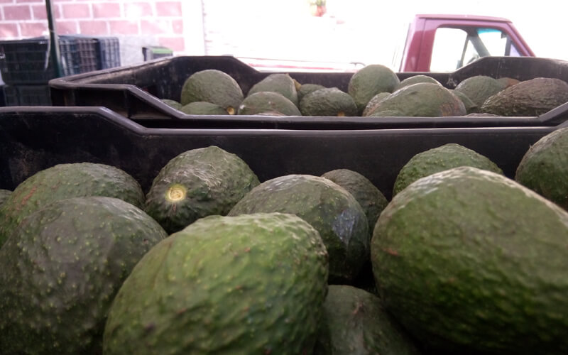 Aguacate. / 
